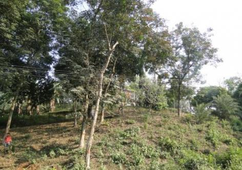 A Rubber plantation within Guwahati city