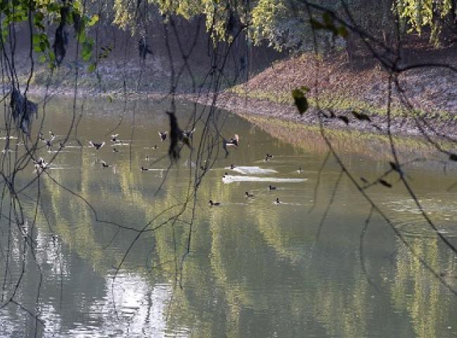 Ferruginous ducks in Pobitora. Pix: Chandan Duarah