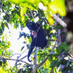 A male western Hoolock Gibbon in Chandubi forest, Assam. (©Abhilash Rabha)