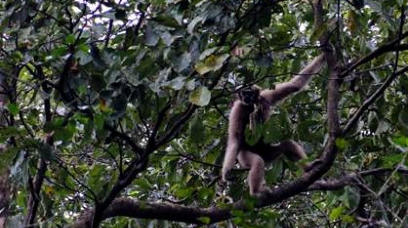 A female western Hoolock Gibbon in Chandubi forest, Assam. (©Benjamin Kaman)
