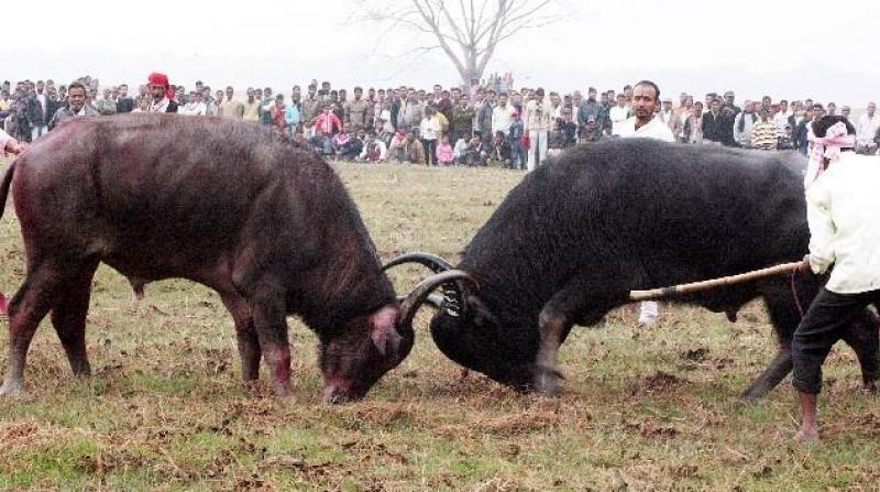 File photo: Traditional buffalo fight at Ahatguri
