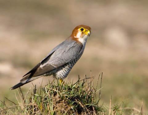 Red-Headed Falcon - courtesy Wikipedia