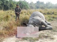 Carcass of a rhino at Bahubil Camp, Kaziranga on January 11