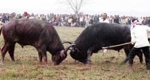 File photo: Traditional buffalo fight at Ahatguri