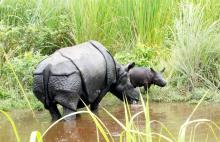 Jamuna with her second calf in Manas National Park on September 3 2017. Photo by Gobinda Garh, Assam Forest Department