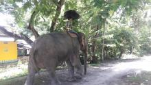 A mahout with his elephant on a sultry summer at Tangla on Wednesday.