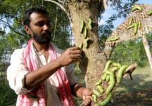 Muga silk worms