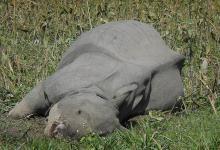 Rising Incidence of Rhino Poaching in Assam